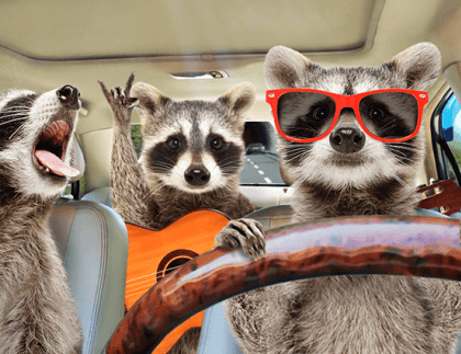 70o-raccoons-driving-header.png - Project Bureau ZMS
